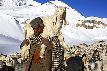 A herdsman and herd at the top of Baralacha pass, Himalaya highway, road from Manali to Leh, India, Asia