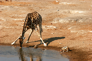 A giraffe and a very small jackal at a waterhole in Etosha, Namibia, Africa
