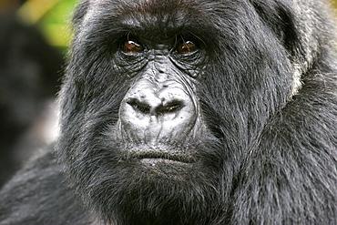 Male mountain gorilla in the Bwindi Forest on the border with Rwanda, UNESCO World Heritage Site, Uganda, Africa
