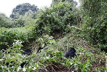 Mountain gorillas in the Bwindi forest near to the border with Rwanda and Congo, UNESCO World Heritage Site, Uganda, East Africa, Africa