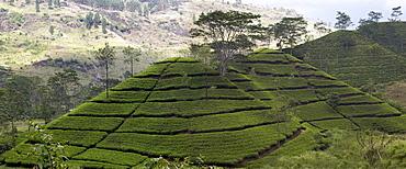 Norwood Tea Plantation, Bogawantalawa Valley, Sri Lanka, Asia