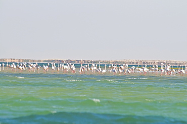 Flamingos (Phoenicopteridae) standing on a sandbank of the Banc d'Arguin, UNESCO World Heritage Site, Mauritania, Africa