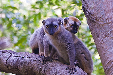Red-fronted Brown Lemur (Eulemur rufifrons), Berenty Private Reserve, Madagascar, Africa