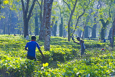 Worker in the Tea plantations in Assam, Northeast India, India, Asia