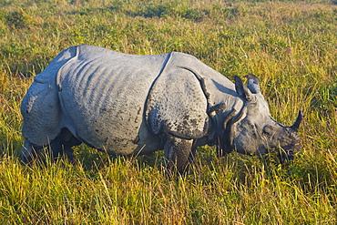 Indian Rhinoceros (Rhinoceros unicornis), Kaziranga National Park, UNESCO World Heritage Site, Assam, Northeast India, India, Asia