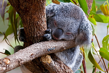 Koala (Phascolarctos cinereus) in the Townsville sanctuary, Queensland, Australia, Pacific