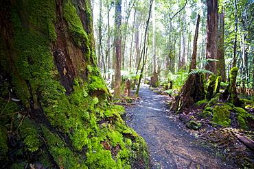 Pandani Grove Nature Trail, Mount Field National Park, Tasmania, Australia, Pacific