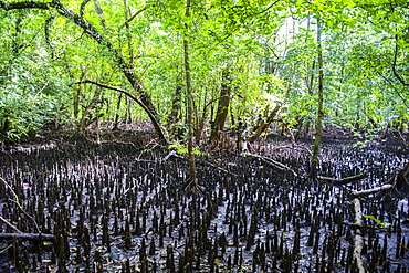 Mangrove roots on Carp island, Rock islands, Palau, Central Pacific, Pacific