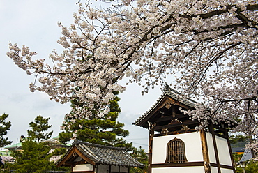 Shrine under cherry blossoms in the Geisha quarter of Gion, Kyoto, Japan, Asia