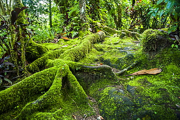 Moss overgrowing trees along a path, Pohnpei (Ponape), Federated States of Micronesia, Caroline Islands, Central Pacific, Pacific