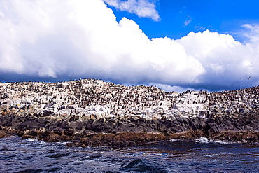 Comorants on an Island in the Beagle Channel, Ushuaia, Tierra del Fuego, Argentina, South America