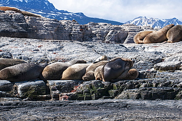 South American sea lion (Otaria flavescens), Beagle Channel, Argentina, South America
