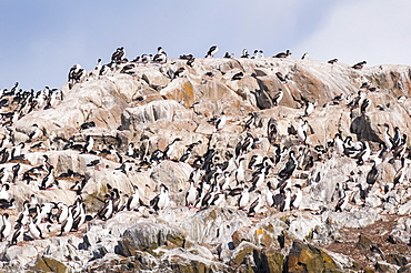 Cormorants on an island in the Beagle Channel, Ushuaia, Tierra del Fuego, Argentina, South America