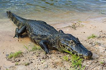 Alligator (Yacare caiman), Pantanal Conservation Area, UNESCO World Heritage Site, Brazil, South America