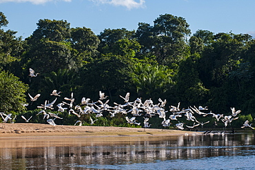 Flocks of Graza Mora, Pantanal Conservation Area, UNESCO World Heritage Site, Brazil, South America