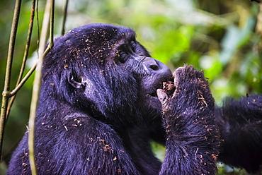 Mountain gorilla (Gorilla beringei beringei) in the Bwindi Impenetrable National Park, Uganda, East Africa, Africa