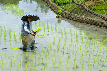 Woman planting in the rice terraces of Banaue, UNESCO World Heritage Site, Northern Luzon, Philippines, Southeast Asia, Asia