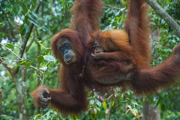 Mother and baby Sumatran orangutan (Pongo abelii) swinging through the forest, Bukit Lawang Orang Utan Rehabilitation station, Sumatra, Indonesia, Southeast Asia, Asia