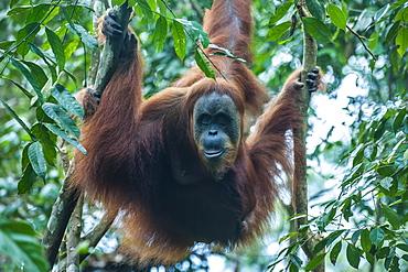 Huge male Sumatran orangutan (Pongo abelii), Bukit Lawang Orang Utan Rehabilitation station, Sumatra, Indonesia, Southeast Asia, Asia