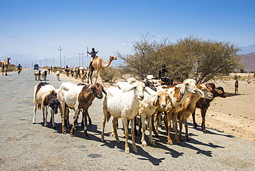 Herds of animals walking in the lowlands of Eritrea, Africa
