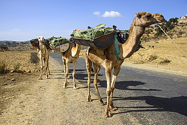 Camel caravan along the road from Asmara to Qohaito, Eritrea, Africa