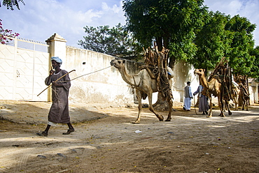 Camel caravan walking with firewood through Keren, Eritrea, Africa