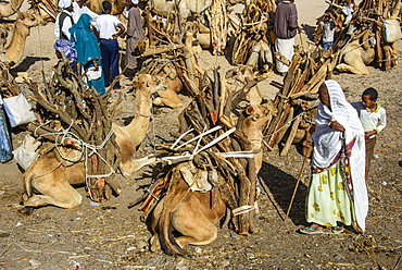 Camels loaded with firewood at the Monday market of Keren, Eritrea, Africa