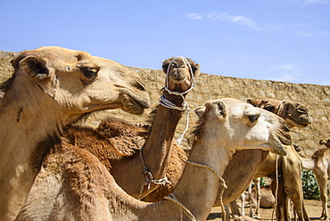 Close up of camels at the camel market of Keren, Eritrea, Africa