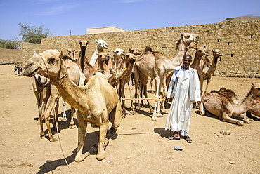 Man presenting his camels for sale at the camel market of Keren, Eritrea, Africa