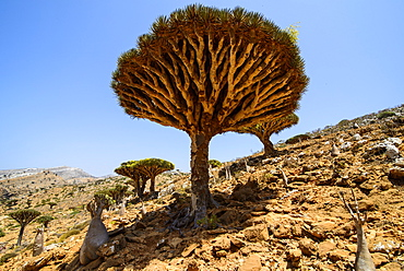 Dracaena cinnabari (the Socotra dragon tree) (dragon blood tree) forest, Homil Protected Area, island of Socotra, UNESCO World Heritage Site, Yemen, Middle East