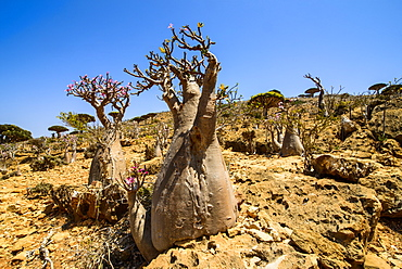 Bottle trees in bloom (Adenium obesum), endemic tree of Socotra, Homil Protected Area, island of Socotra, UNESCO World Heritage Site, Yemen, Middle East