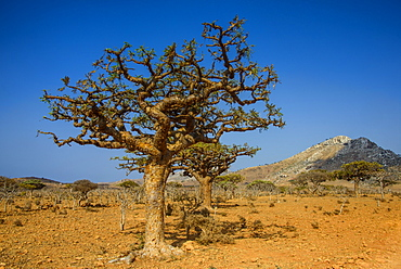 Frankincense trees (Boswellia elongata), Homil Protected Area, island of Socotra, UNESCO World Heritage Site, Yemen, Middle East