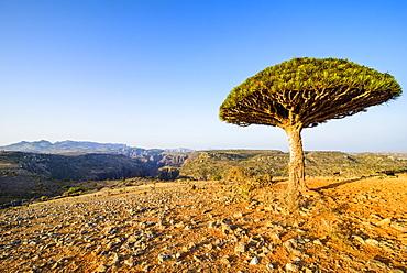 Dracaena cinnabari (the Socotra dragon tree) (dragon blood tree), Dixsam plateau on the island of Socotra, UNESCO World Heritage Site, Yemen, Middle East