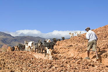 Farmer with his goats in rocky landscape, San Antao, Cape Verde Islands, Africa