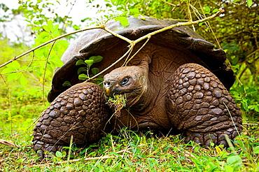 Giant Tortoise in El Chato natural reserve, Finca Primicias, Indefatigable Island, Galapagos Islands, Ecuador