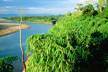 Bamboo Forest, Amazon Forest, Peru