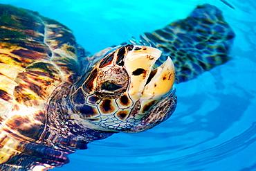 Hawksbill Turtle (Eretmochelys imbricata) breathing, Center for sea turtle protection, TAMAR project, Praia do Forte, Bahia state, Brazil