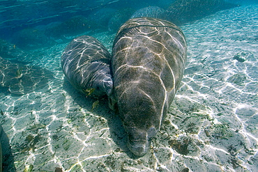 Florida manatees (Trichechus manatus latirostris), mother nursing calf, Crystal River, Florida, USA