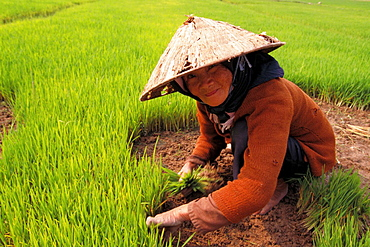 Old woman working in rice field, Vietnam