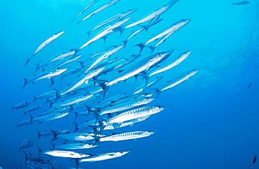 Chevron Barracuda (Sphyraena putnamiae), Kimbe Bay, Papua New Guinea