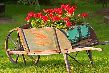 Geraniums displayed in antique wheelbarrow.