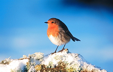 Robin (Erithacus rubecula), Perched on branch in snow, Strathspey, Scotland, UK
