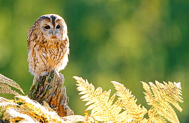 Tawny olw (Strix aluco), Adult perched amongst bracken in autum, Scotland, UK