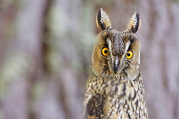 Long-eared owl (Asio otus), close-up portrait of adult in pine forest, Scotland, UK.