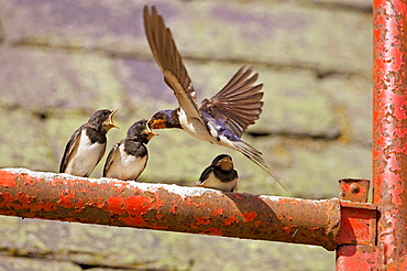 Swallow (Hirundo rustica) adult (in flight) feeding chick perched, Scotland, UK.