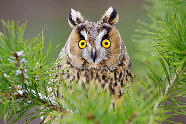 Long-eared Owl (Asio otus) portrait of adult perched in pine tree in winter, Scotland (captive-bred bird)