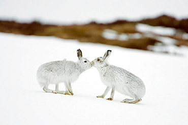 Mountain Hare (Lepus timidus) two animals in white winter pelage (coat) touching noses in form of greeting, Scotland.