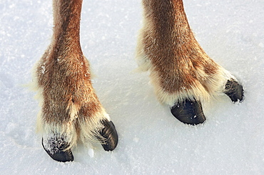 Reindeer (Rangifer tarandus), close-up of cloved hooves (feet), Cairngorms National Park, Scotland.