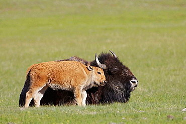 Bison (Bison bison) calf nestling up to mother in meadow, Yellowstone National Park, Wyoming, USA, June 2005.