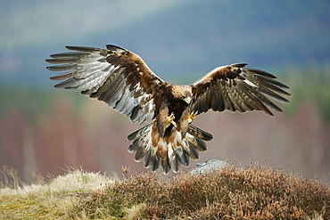 Golden Eagle (Aquila chrysaetos) adult in flight preparing to land on rock, Scotland, March 2006, (captive-bred)